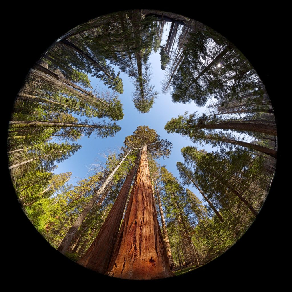20303488 - fisheye view of the giant sequoia trees in mariposa grove, yosemite national park, california, usa